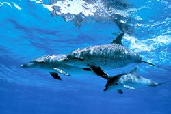 Atlantic spotted dolphins north of Grand Bahamas. Nikonos... by Ian Brooks