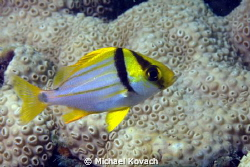 Juvenile Porkfish on the Big Coral Knoll off the beach in... by Michael Kovach