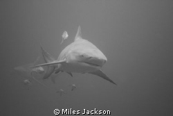 I'm not scared of Bullies! Carcharhinus leucas  Awesome... by Miles Jackson