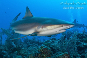Shark Encounter, Gardens of the Queen Cuba by Alejandro Topete