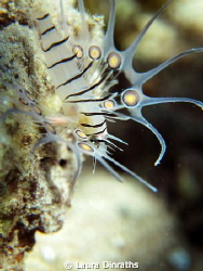 Juvenile common lionfish in double macro by Laura Dinraths