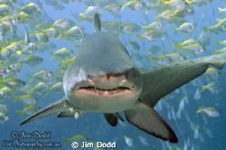 A Grey Nurse Shark at Broughton Island, NSW, Australia. T... by Jim Dodd