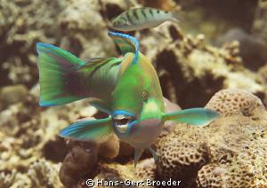 Parrotfish Bunaken,Sulawesi,Indonesia, Bunaken Islands  by Hans-Gert Broeder