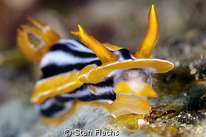 Chromodoris quadricolor by Stan Flachs