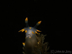 Polycera quadrilineata with snoot. by John De Jong
