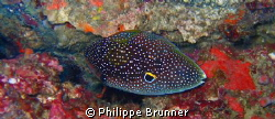 Comet fish by Philippe Brunner