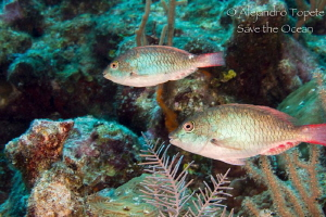 Parrot fish green, Mahahual Mexico by Alejandro Topete