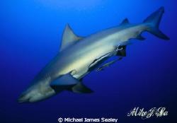 Carcharhinus leucas by Michael James Sealey
