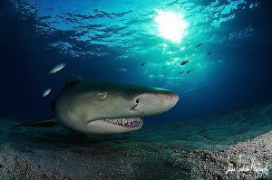 As evening approaches the Lemon Sharks really show their ... by Steven Anderson