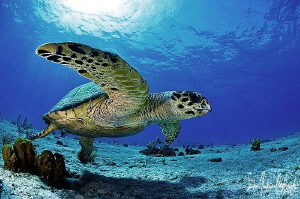A chance meeting with this Hawksbill Turtle at the Sugar ... by Steven Anderson