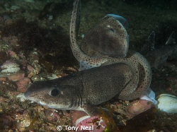 Hi All  This is a very rare shot of two sharks mating (C... by Tony Neal