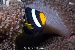 Clownfish by Jared Klein