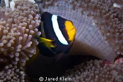 Clownfish by Jared Klein