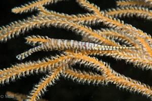 Sawblade shrimp. by Mehmet Salih Bilal