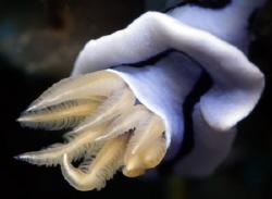 Nudibranch Lung, Mindoro, PI by Martin Dalsaso