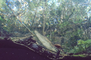 Cocodrilo en la Jungla, Cenote Angelita Mexico by Alejandro Topete