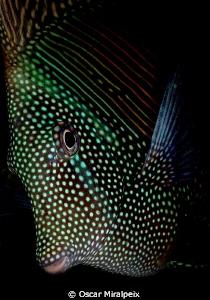 zebrasoma by Oscar Miralpeix