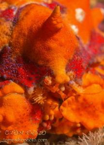 Puget Sound King Crab portrait Olympic Peninsula, WA, U.... by Tom Radio
