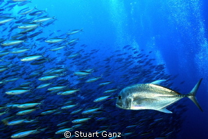 Ulua on the hunt by Stuart Ganz