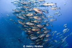 Snapper fish , ras Mohamed , egypt . by Helmy Hashim
