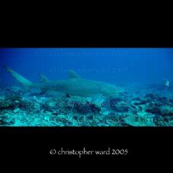 Bora Bora, French Polynesia. Lemon shark chase. Fuji, 18m... by Christopher Ward