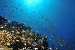 Anthias by Philippe Brunner