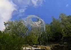 Freshwater jellyfish by Niky Šímová