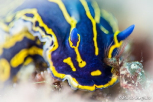 Hypselodoris picta by Marco Gargiulo