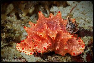Nudibranch. Donsol. by Sergey Lisitsyn