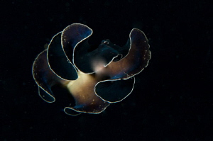 Dancing flatworm in the night. by Mehmet Salih Bilal