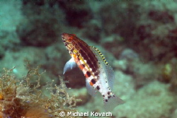 Lantern Bass on the Big Coral Knoll off the beach in Fort... by Michael Kovach