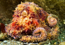 This little Ruby Octopus stayed out on recent dive with u... by Marc Damant