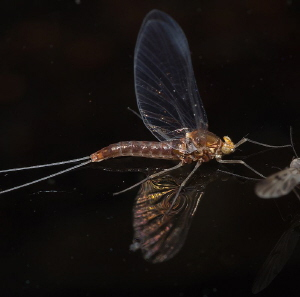 mayfly by Chris Krambeck