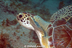 Green Sea Turtle in the algae on the way to the Big Coral... by Michael Kovach