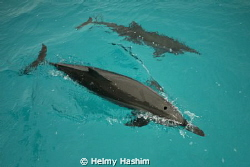 Stenella dolphins by Helmy Hashim