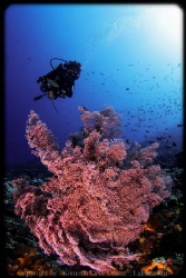 A cliche shot: Gorgonian fan + Diver (but without holding... by Moritz Drabusenigg