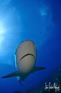 Incoming as we hit the bottom! Curious Reef Shark makes i... by Steven Anderson