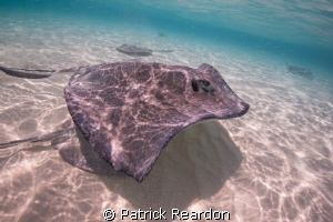 Stingray City. by Patrick Reardon