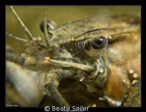 Cray fish, taken with Canon G12 und 2 X UCL165 by Beate Seiler