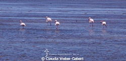 Camargue - pink flamingoes by Claudia Weber-Gebert