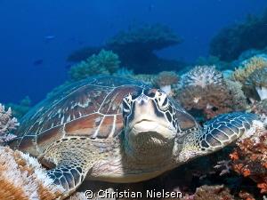 Friendly green turtle in the underwater wonderland of Komodo by Christian Nielsen