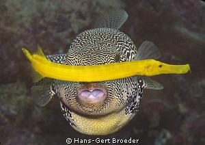 Puffer-,Trompetfish Traffic jam Bunaken,Sulawesi,Indone... by Hans-Gert Broeder
