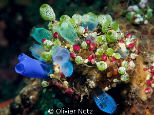 The diversity of the sea squirt was absolutely marvelous! by Olivier Notz