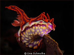 Miamira magnifica - One of the most beautiful nudibranch... by Uwe Schmolke