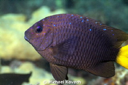 Yellowtail Damselfish on the Big Coral Knoll, off the bea... by Michael Kovach