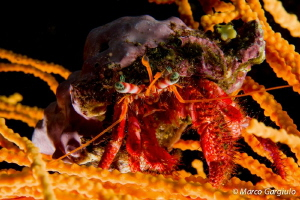 Hermit crab on yellow sea-fan by Marco Gargiulo