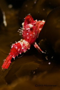 Strange tiny shrimp, don't know what it is by Pat Gunderson