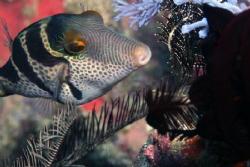 Mimic Filefish by Martin Dalsaso