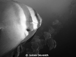 These batfish followed me for about 30minutes today. They... by James Deverich