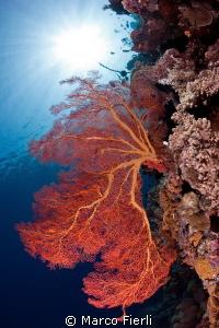 knotted sea fan by Marco Fierli
